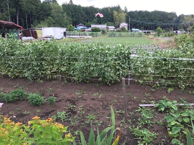 畑のそら豆